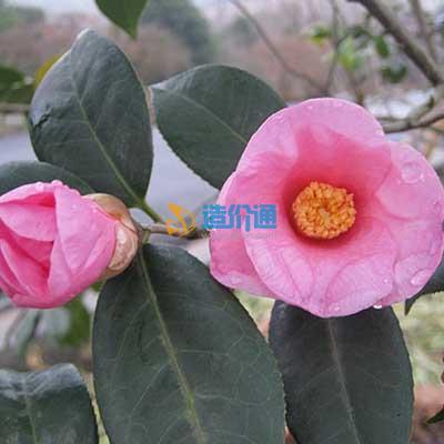 茶花(美人茶)图片
