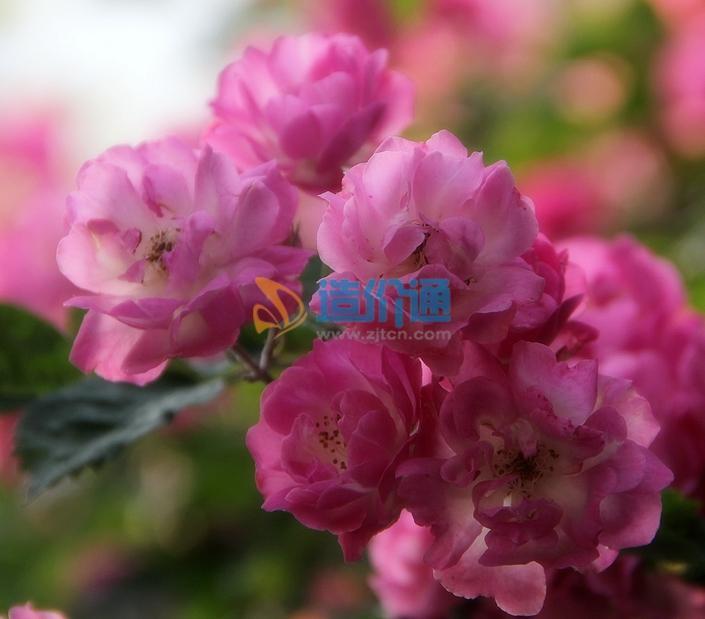 硕苞蔷薇图片