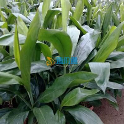 栽植圆叶青铁图片