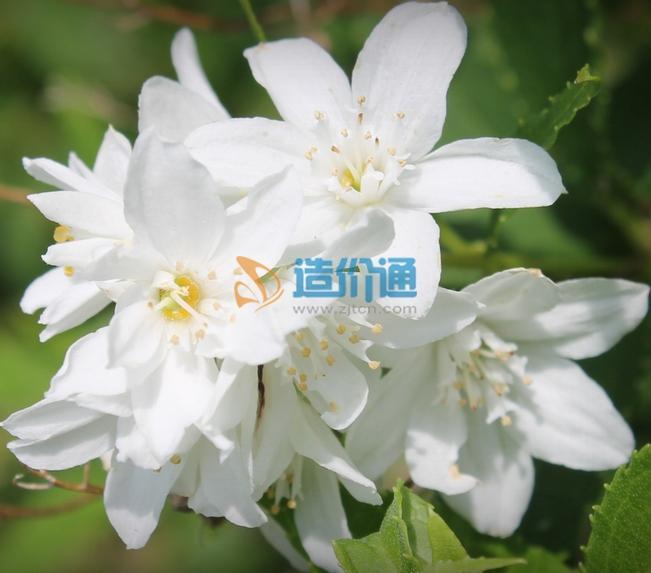 小花溲疏图片