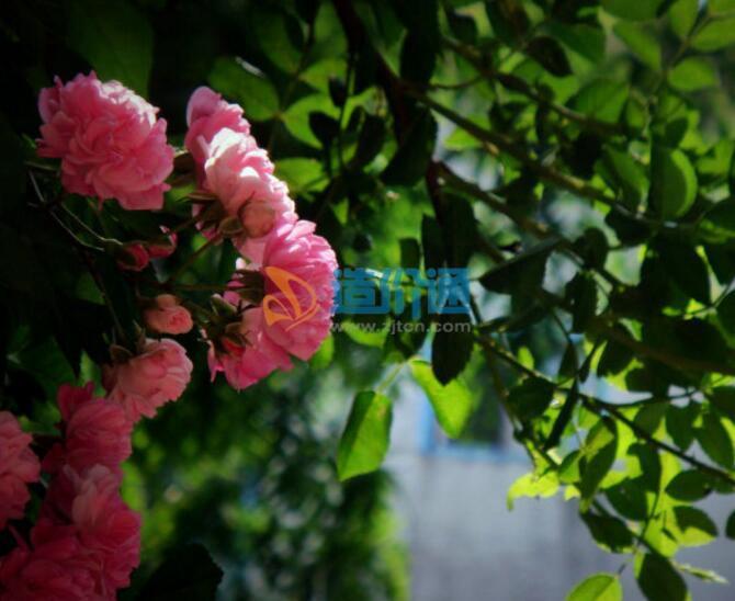日本无刺蔷薇图片