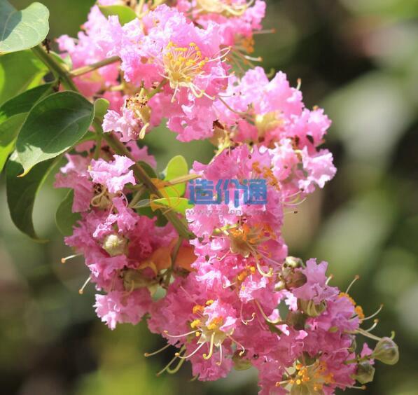 细叶紫薇B图片