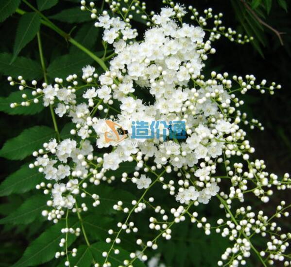 珍珠梅图片