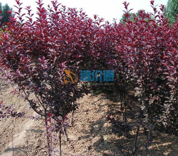 紫葉矮櫻圖片