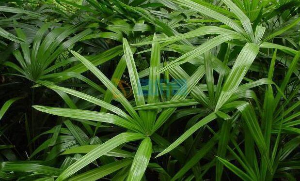 细叶棕竹图片