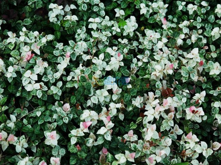 花叶络石图片