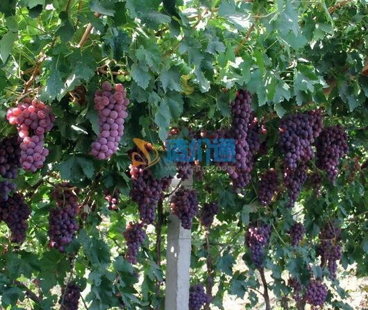 葡萄树苗图片