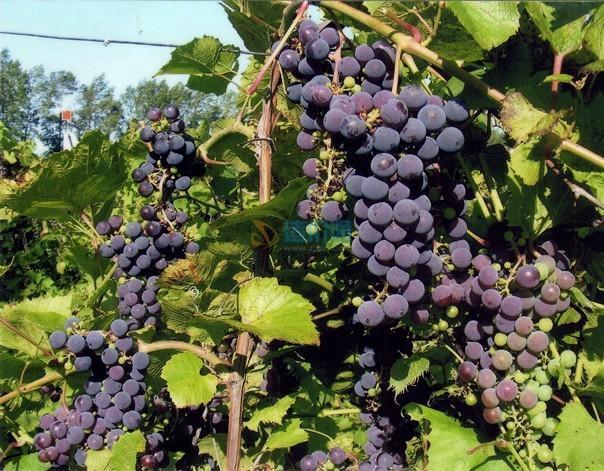 山葡萄图片