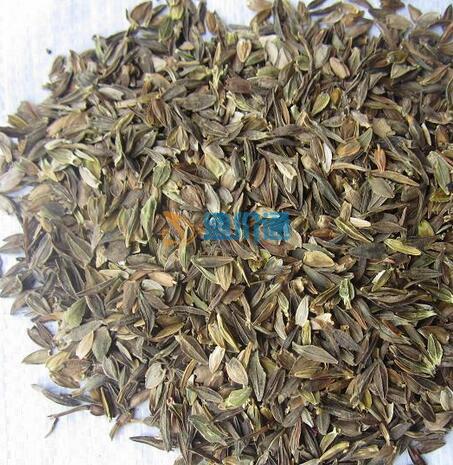 百日草种子图片
