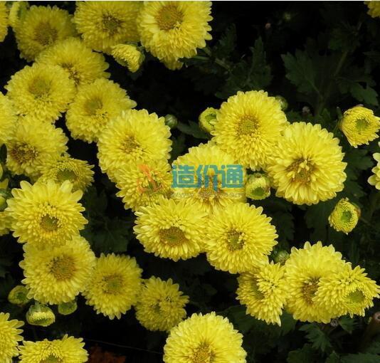 菠萝菊种子图片