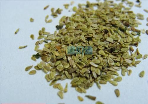 雏菊种子图片