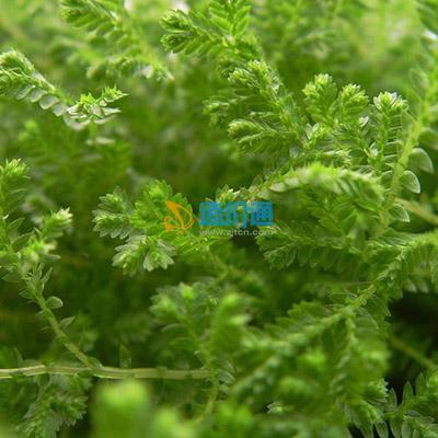 龙须牡丹种子图片