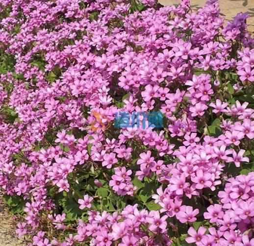 白三叶草籽图片