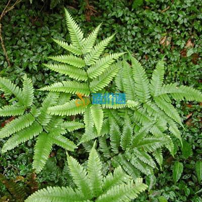 凤尾蕨图片