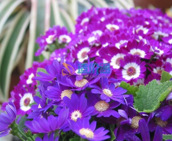 瓜叶菊种子图片