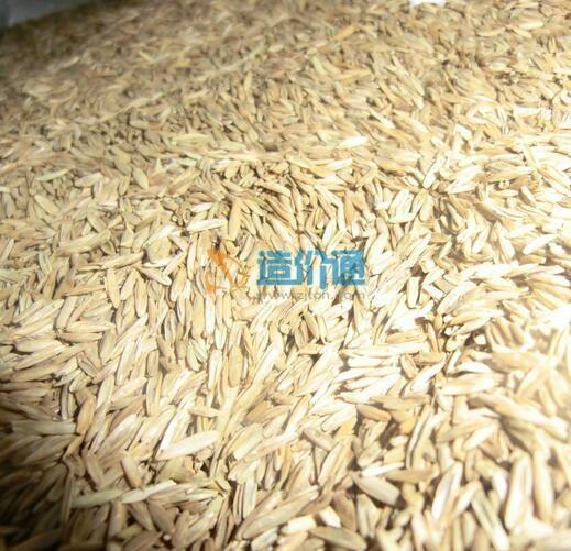 黑麦草草籽图片