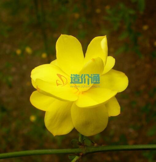 迎春种子图片