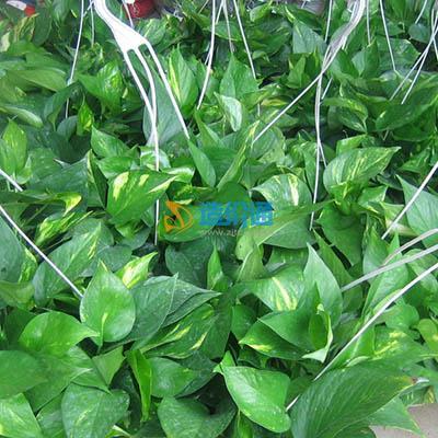 花叶绿萝图片