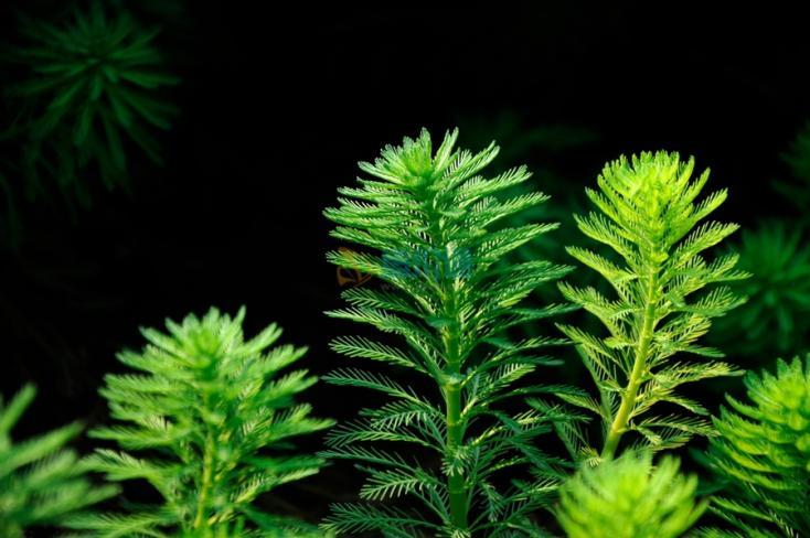 狐尾藻圖片