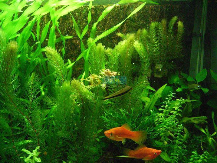 金鱼藻图片
