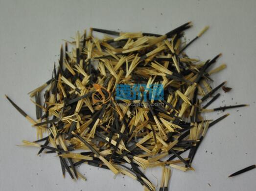 孔雀草种子图片