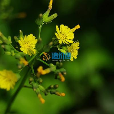 苦荬菜(種子)圖片