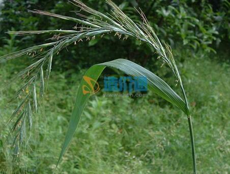 其他绿化和牧草、水土保持植物图片