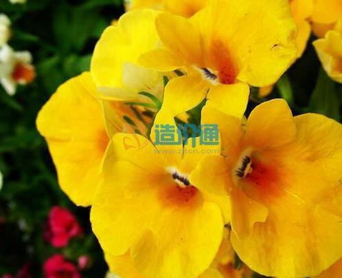 龙面花种子图片