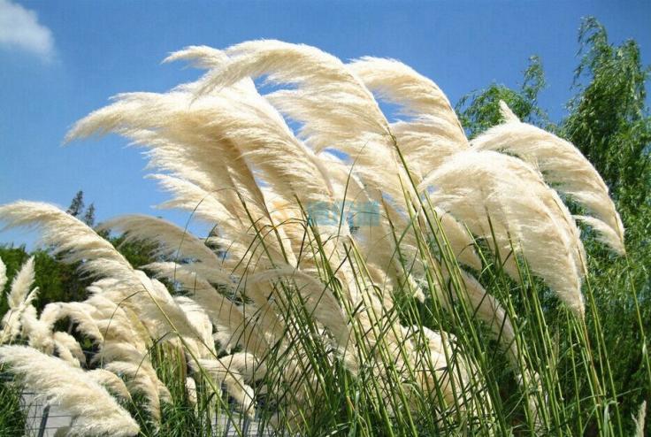 芦苇水生植物图片