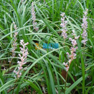 麦冬草皮图片
