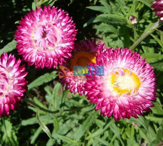 麥桿菊種子圖片