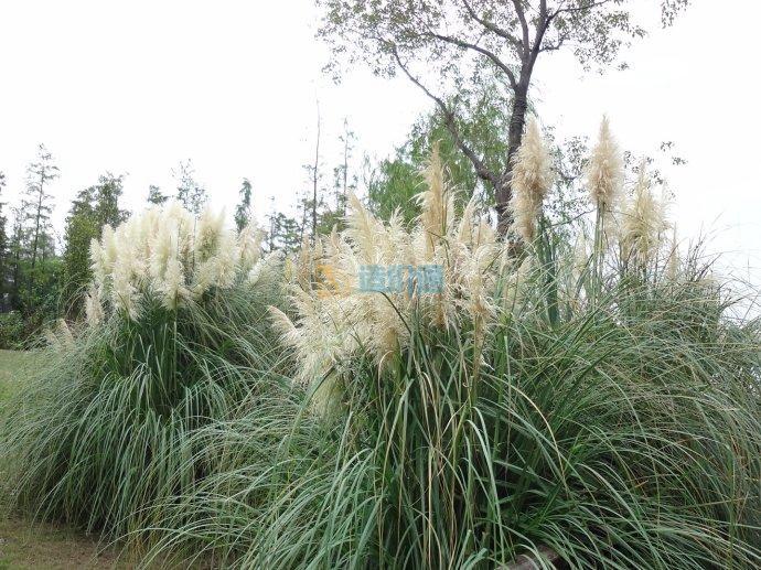 茅草、芒草类草种图片