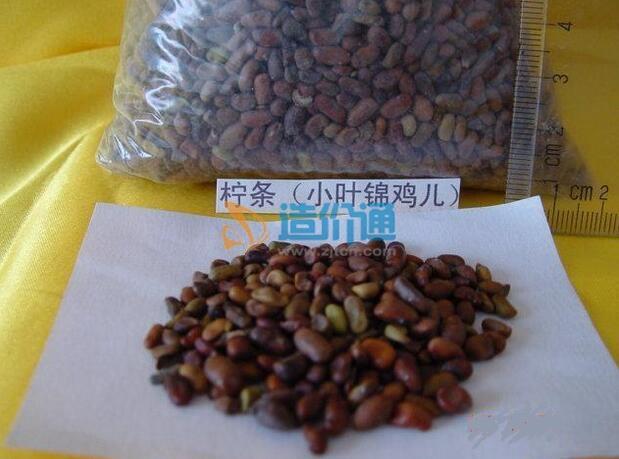 柠条种子图片