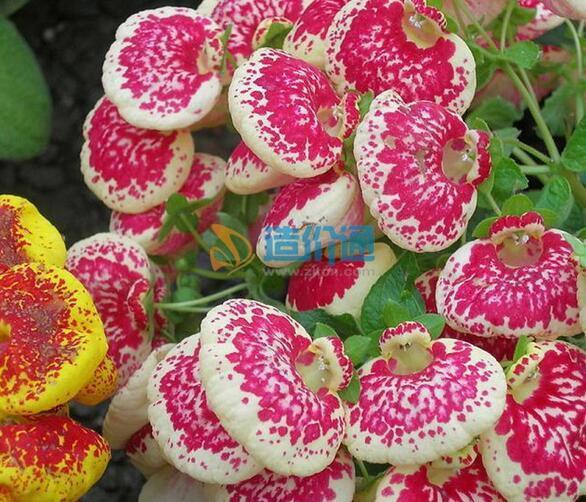 蒲苞花种子图片