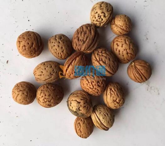 山桃种子图片