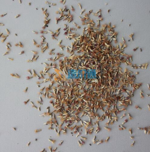 矢車菊種子圖片