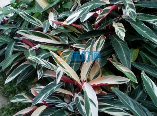 四色栉花竹芋图片