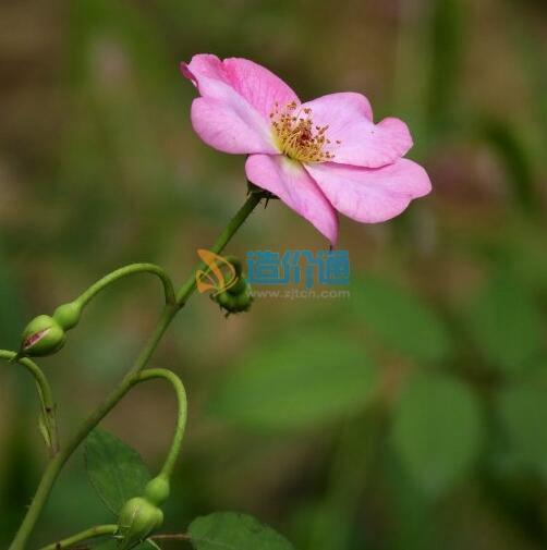 旋花种子图片