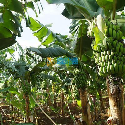 香蕉DVD图片