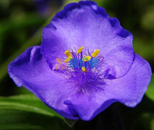 桂竹香種子圖片