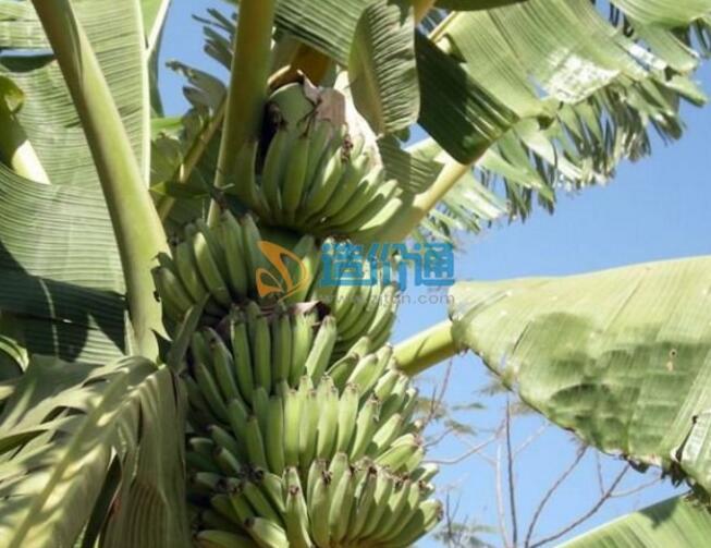 小果野蕉图片