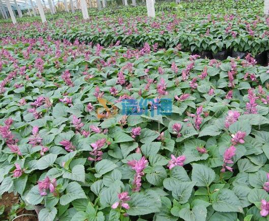 一串紫种子图片