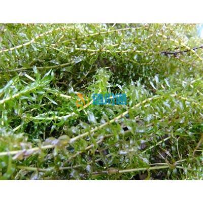 伊乐藻图片
