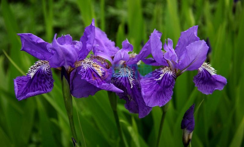 蓝鸢花图片