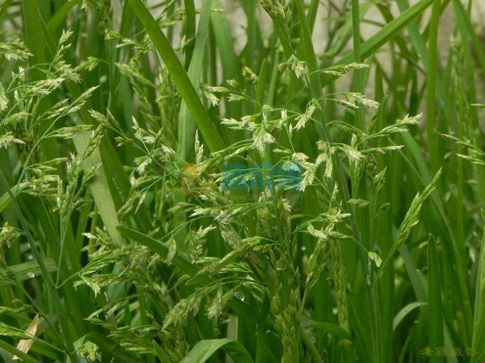 早熟禾和黑麦草混播图片