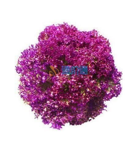 紫叶生菜种子图片