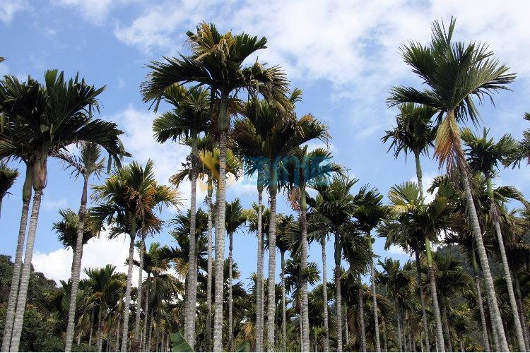槟榔A图片