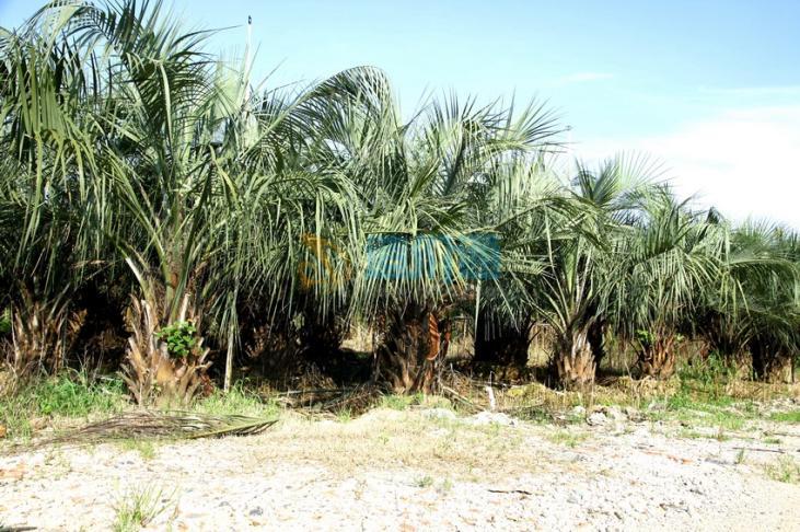 布迪椰子图片