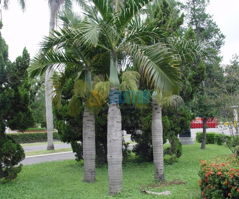 棍棒椰子图片