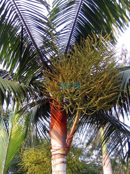 红颈椰子图片